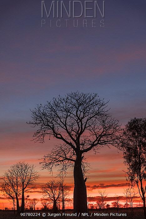 Boab tree / Australian baobab (Adansonia gregorii) at sunset, Kimberley, Western Australia. August 2016.