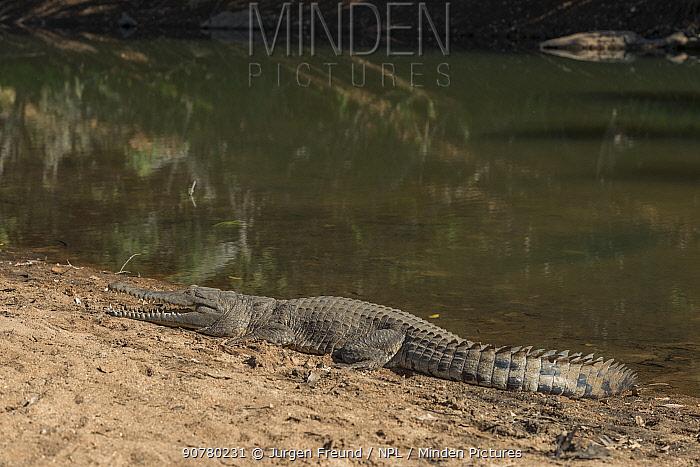 Freshwater crocodile (Crocodylus johnsoni) resting on riverbank, Kimberley, Western Australia, Australia