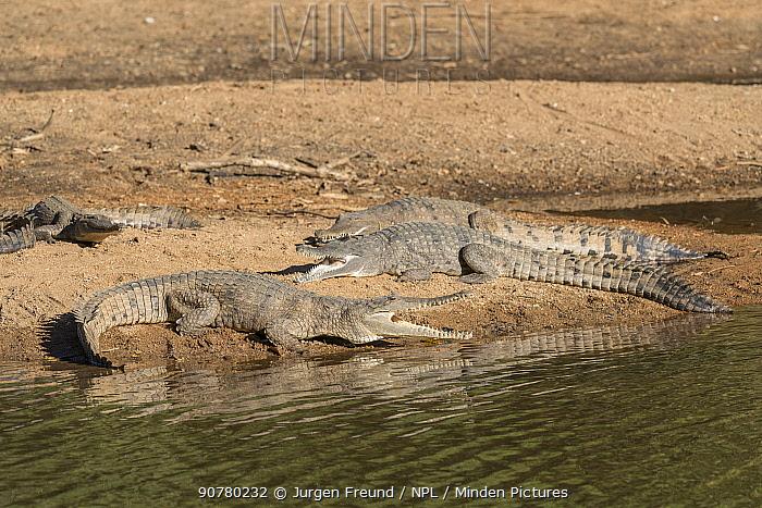 Freshwater crocodile (Crocodylus johnsoni) basking on riverbank, Kimberley, Western Australia, Australia