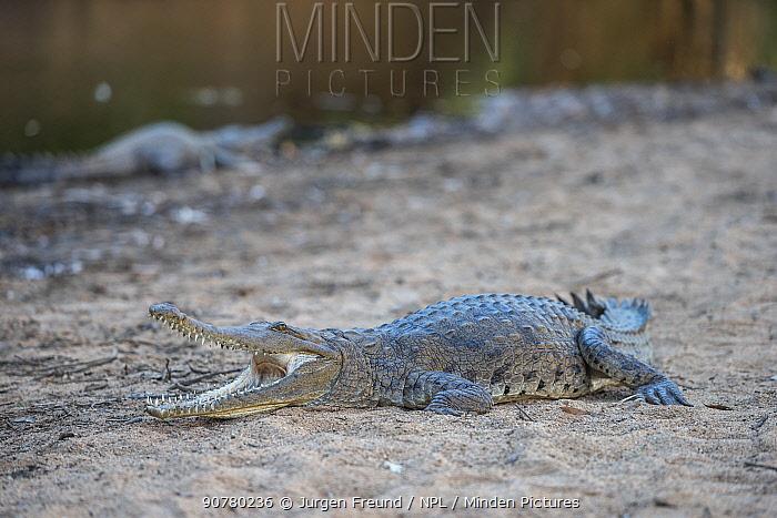 Freshwater crocodile (Crocodylus johnsoni) on riverbank, Kimberley, Western Australia, Australia