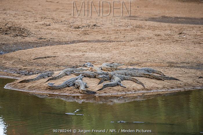 Freshwater crocodile (Crocodylus johnsoni) group basking on the riverbank, Kimberley, Western Australia, Australia