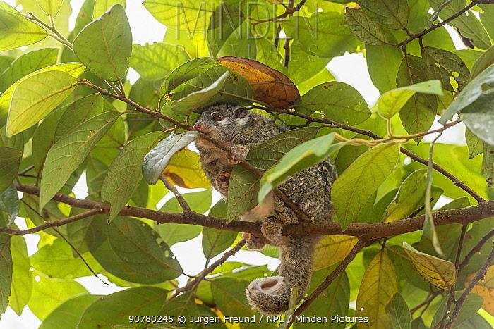 Green ringtail possum (Pseudochirops archeri) Lumholtz Lodge, Atherton Tablelands, Queensland, Australia