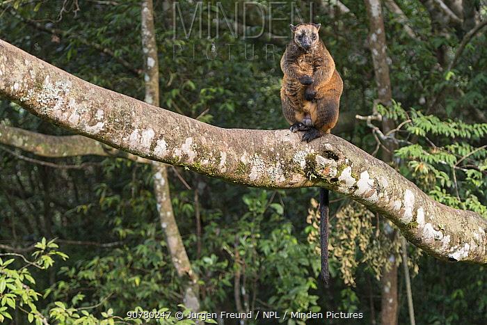 Lumholtz's tree-kangaroo (Dendrolagus lumholtzi) high up on a tree.  Queensland, Australia