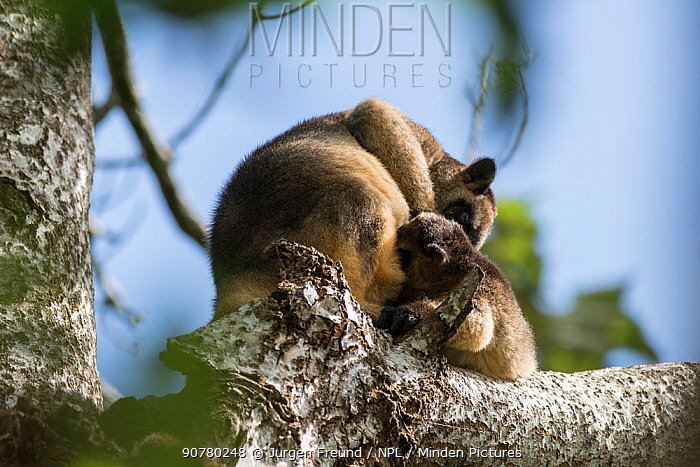 Lumholtz's tree-kangaroo (Dendrolagus lumholtzi) mother and grown joey high up on a tree. Queensland, Australia
