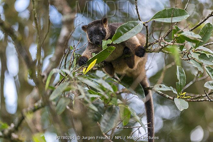 Lumholtz's tree-kangaroo (Dendrolagus lumholtzi) feeding on leaves, Queensland, Australia