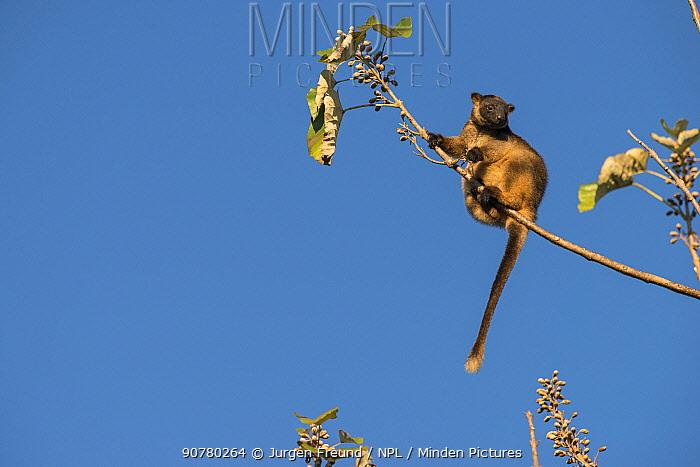 Lumholtz's tree-kangaroo (Dendrolagus lumholtzi) feeding on leaves. Queensland, Australia