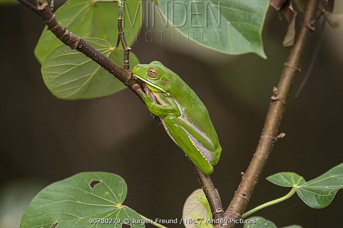 White-lipped tree frog (Litoria infrafrenata) well camouflaged on a branch, Daintree , Queensland, Australia
