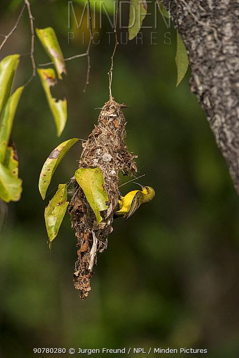 Olive-backed sunbird (Cinnyris jugularis) building nest, Daintree , Queensland, Australia