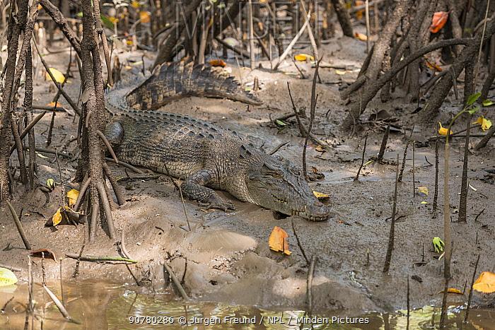 Saltwater crocodile (Crocodylus porosus)  resting on the banks along the Daintree River, Daintree , Queensland, Australia