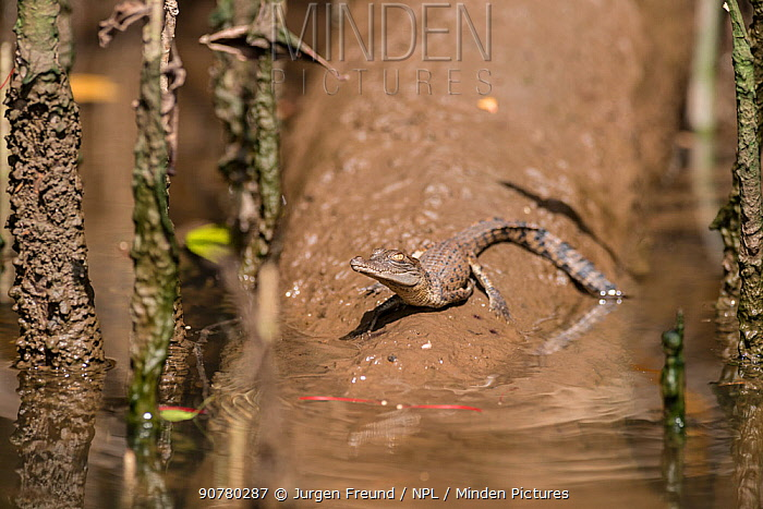 Saltwater crocodile hatchling (Crocodylus porosus)  Daintree , Queensland, Australia