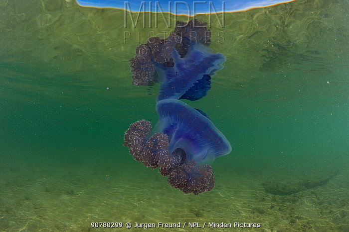 Purple crown jellyfish (Netrostoma setouchina) in shallow waters, Nukubati Island Resort, Macuata Province, Fiji, South Pacific