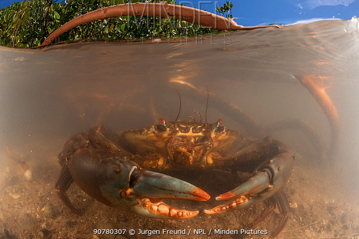 Mud crabs (Scylla serrata) in the water by the mangrove roots - split level image, Mali Island, Macuata Province, Fiji, South Pacific
