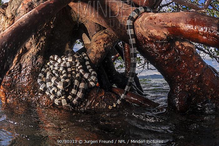Banded sea kraits (Laticauda colubrina) at low tide in mangrove roots, Mali Island, Macuata Province, Fiji, South Pacific