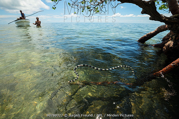 Banded sea kraits (Laticauda colubrina) gathering round mangrove tree at low tide with people watching in backgruond, Mali Island, Macuata Province, Fiji, South Pacific