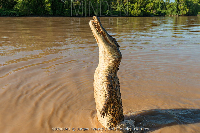 Saltwater crocodile (Crocodylus porosus) jumping up to grab a piece of chicken hung over the water by Adelaide River cruise boat skipper, Adelaide River, Darwin, Northern Territories, Australia