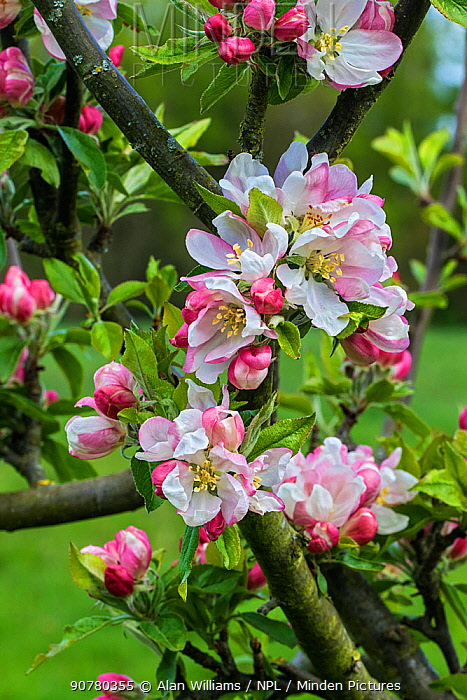 Apple (Malus domestica) blossom variety 'Egremont Russet' in orchard, Cheshire, UK, May