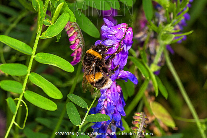 Buff-tailed Bumble Bee (Bombus terrestris) feeding on Tufted Vetch (Vicia cracca) at the edge of a meadow, Cheshire, UK, August