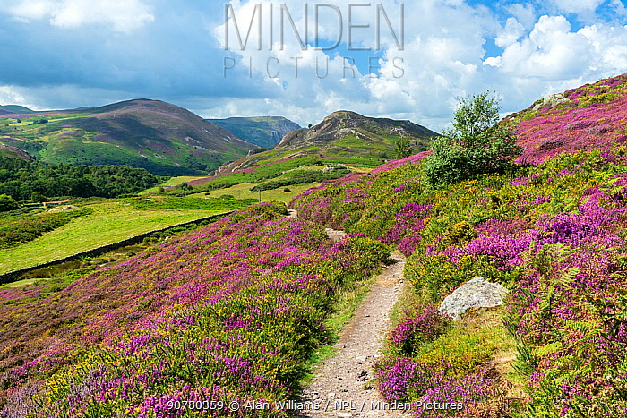 View west from path on Conwy Mountain with Alltwen Mountain on the right and Foel Lus Mountain on the left and Penmaenmawr mountain in the distance. Conwy, North Wales, UK, August 2017.