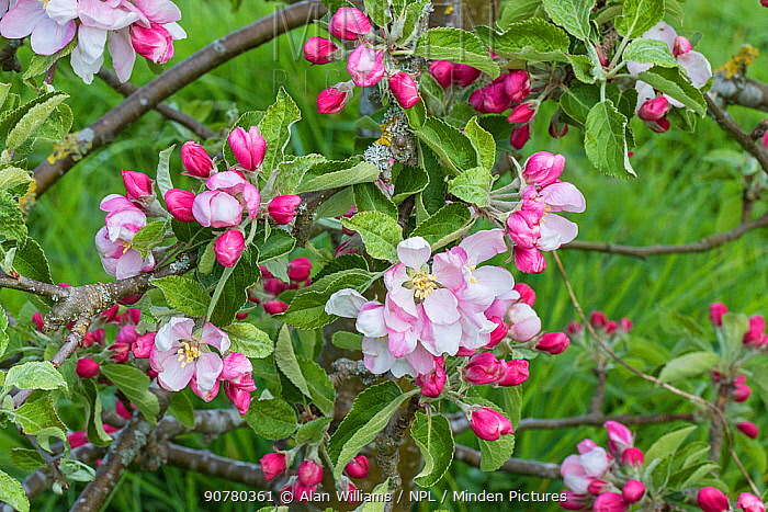 Apple (Malus domestica) blossom variety 'Arthur W. Barnes' in orchard, Cheshire, UK, May