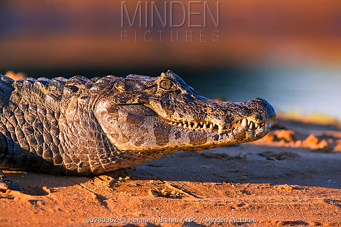 Spectakled caiman (Caiman crocodilus) at water's edge, Pantanal Brazil