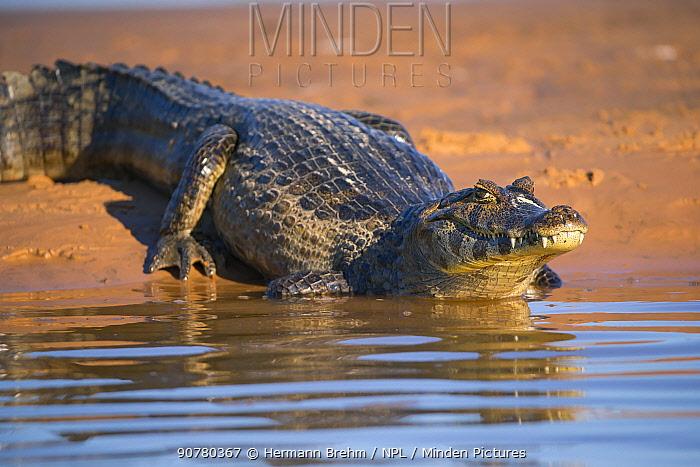 Spetacled Caiman (Caiman crocodilus) at water's edge, Pantanal, Brazil