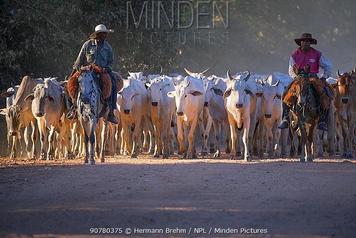 Gauchos herding cattle on horseback, Pantanal, Brazil.