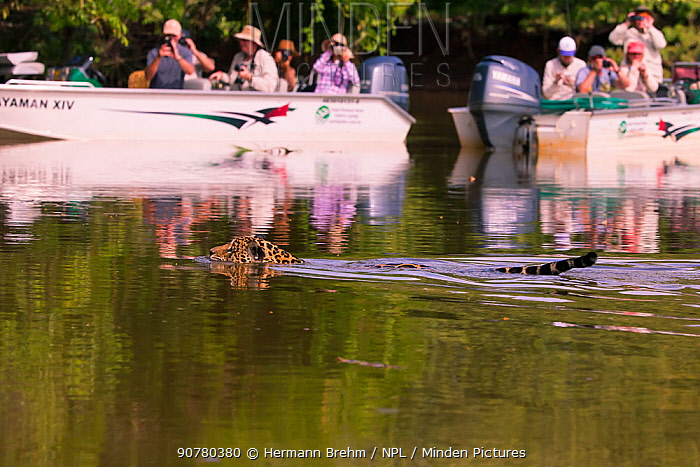 Tourists in boats taking photographs of Jaguar (Panthera onca) swimming in the Pantanal, Brazil