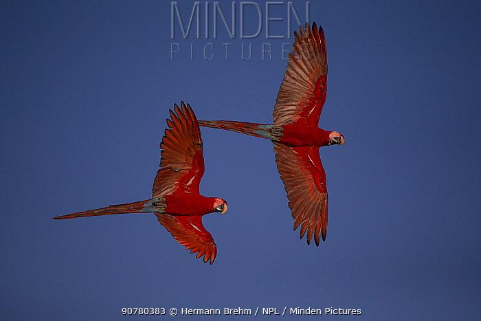 Red-and-Green Macaw (Ara chloropterus) pair in flight, Pantanal Brazil