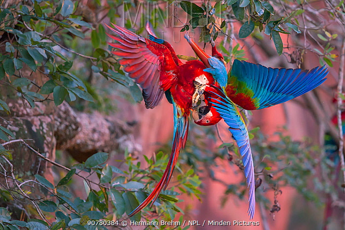 Red-and-green macaws (Ara chloropterus) fighting, Pantanal Brazil