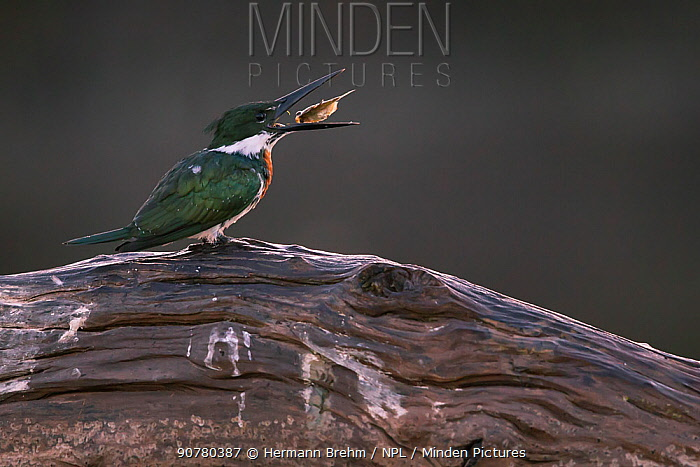 Amazon Kingfisher (Chloroceryle amazona) male feeding,  Pantanal Brazil