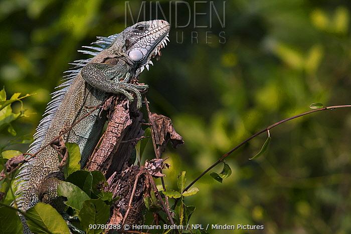 Green Iguana (Iguana iguana) Pantanal, Brazil