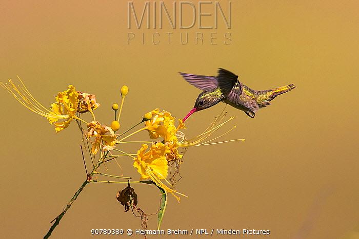Gilded sapphire (Hylocharis chrysura) feeding from flower, Pantanal, Brazil
