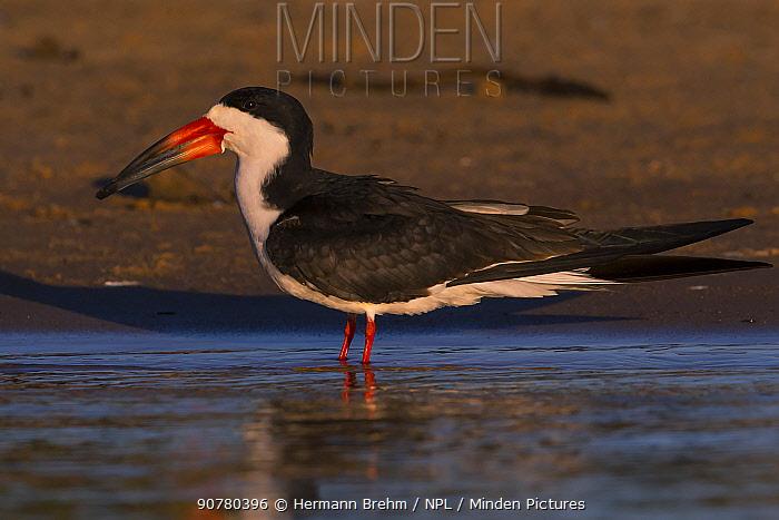 Black skimmer (Rynchops niger) Pantanal  Brazil