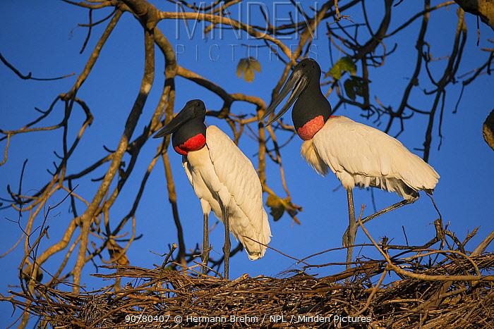 Jabiru Stork (Jabiru mycteria) pair on nest, Pantanal, Brazil