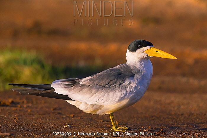 Large-billed Tern (Phaetusa simplex) Pantanal, Brazil