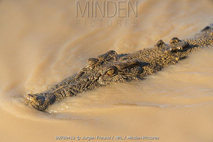 Saltwater crocodile (Crocodylus porosus) swimming towards the Adelaide River boat cruise, Adelaide River  , Darwin, Northern Territories, Australia