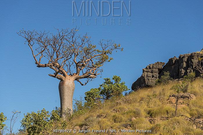 Boab tree / Australian baobab (Adansonia gregorii) endemic to Australia, Kimberley, Western Australia, Australia