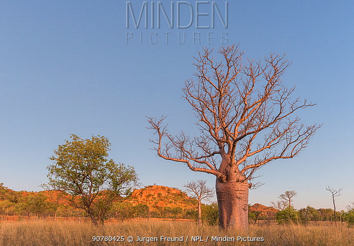 Sun setting with Boab tree / Australian baobab (Adansonia gregorii) Kimberley, Western Australia, Australia July 2016.