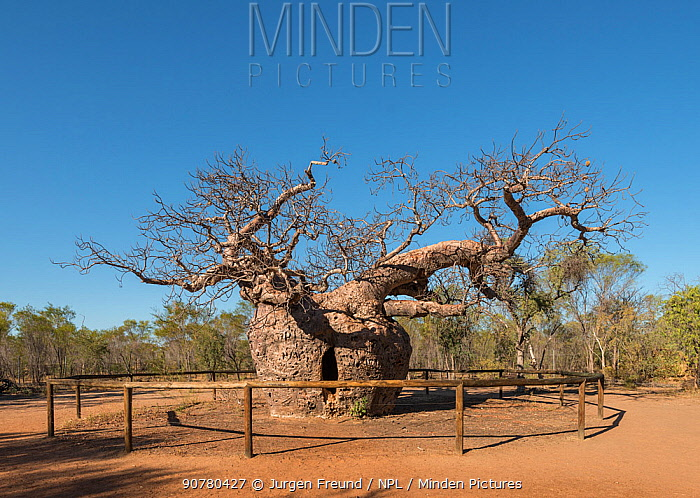 Prison Boab tree / Australian baobab (Adansonia gregorii) which was used to lock up prisoners, Wyndham. Kimberley, Western Australia. July 2016.