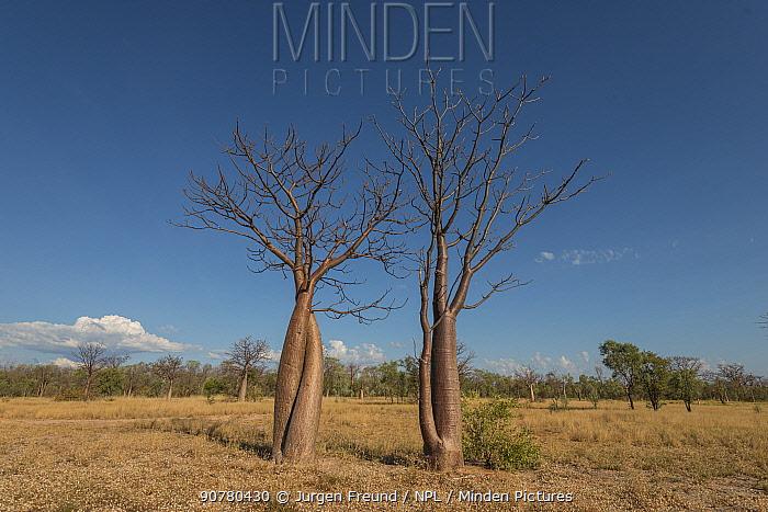 Australian baobab  / Boab trees  (Adansonia gregorii)  Kimberley, Western Australia, Australia July 2016.