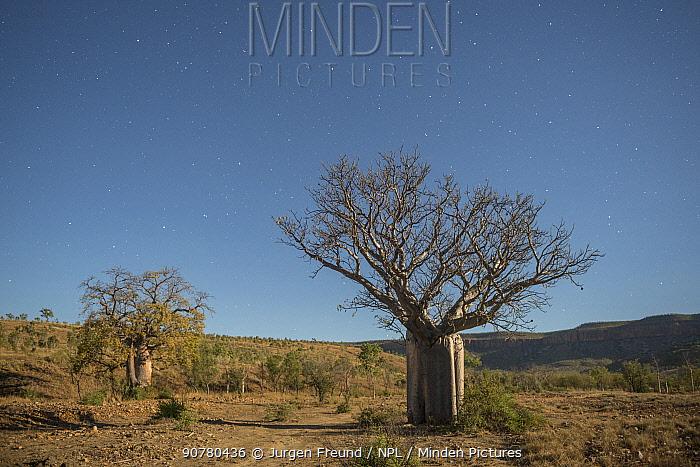 Australian baobab  / Boab trees (Adansonia gregorii) against the Cockburn Ranges, Kimberley, Western Australia. June 2016.