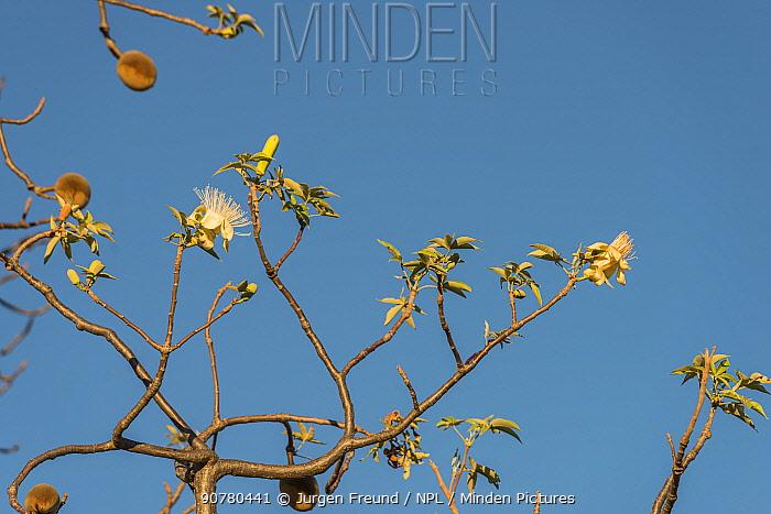Boab tree / Australian baobab (Adansonia gregorii) leaves and flowers, Kimberley, Western Australia, Australia June 2016.