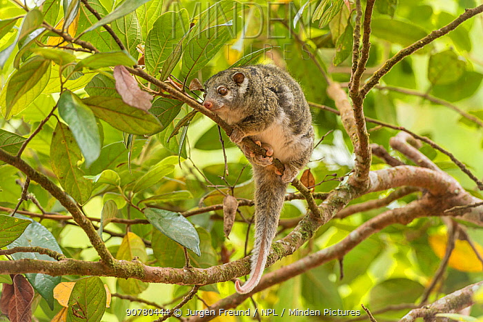 Green ringtail possum (Pseudochirops archeri) , Lumholtz Lodge, Atherton Tablelands, Queensland, Australia