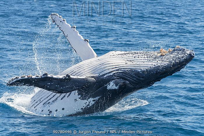 Humpback whale (Megaptera novaeangliae) breaching, Hervey Bay, Queensland, Australia September 2016.