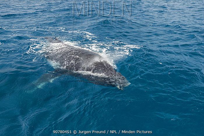 Humpback whales (Megaptera novaeangliae) surfacing, Hervey Bay, Queensland, Australia