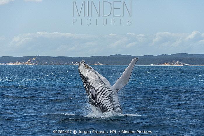 Humpback whale (Megaptera novaeangliae) breaching, Hervey Bay, Queensland, Australia