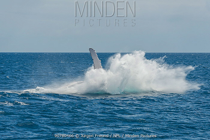 Humpback whale (Megaptera novaeangliae) breaching. Hervey Bay, Queensland, Australia. Sequence 9 of 9.