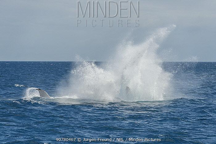 Humpback whale (Megaptera novaeangliae) breaching. Hervey Bay, Queensland, Australia. Sequence 8 of 9.