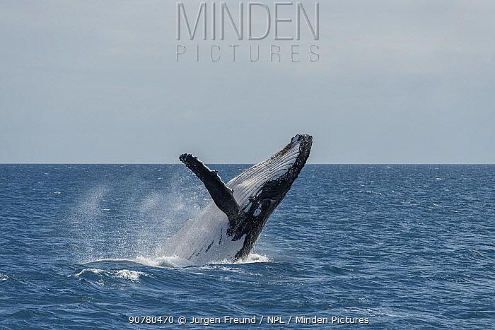 Humpback whale (Megaptera novaeangliae) breaching. Hervey Bay, Queensland, Australia. Sequence 5 of 9.