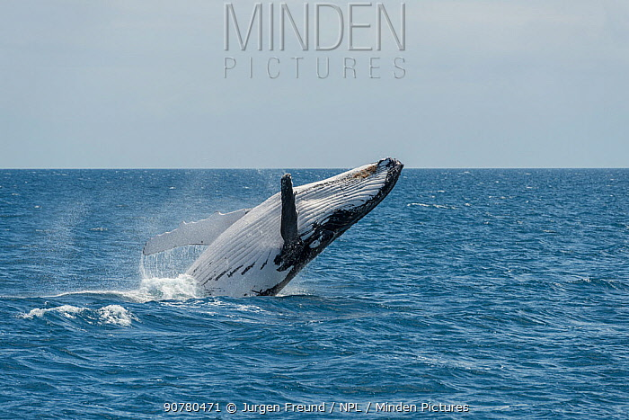 Humpback whale (Megaptera novaeangliae) breaching. Hervey Bay, Queensland, Australia. Sequence 4 of 9.